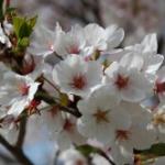 第3回桜の開花予想を日本気象協会が発表~東京は3/21頃、大阪は3/25頃
