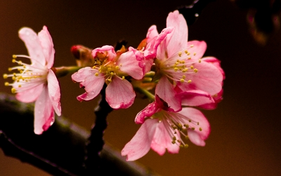 桜壁紙17